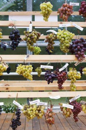 Сорта кубанского винограда