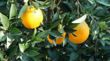 Апельсины в Сочи