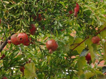 Гранаты на дереве в Сочи