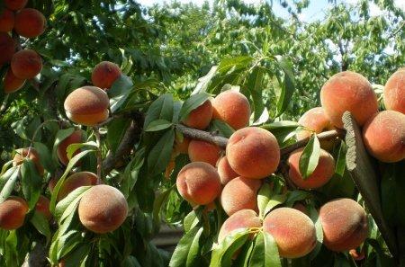 Спелые Кубанские персики