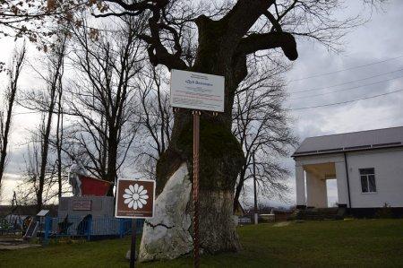 Дуб великан в селе Русском