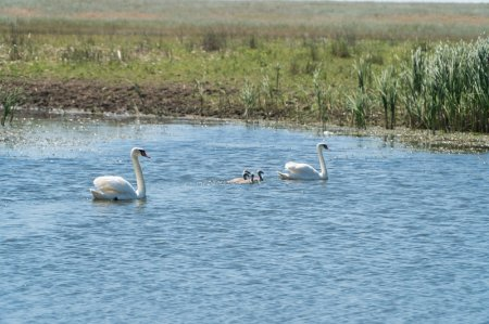 Лебеди с птенцами